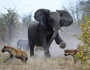 elephant-attacks-hyenas